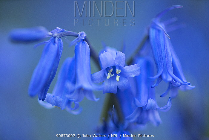 Close-up of Bluebell (Hyacinthoides non-scripta) flower in a deciduous woodland near Bristol, UK, May, 2021.