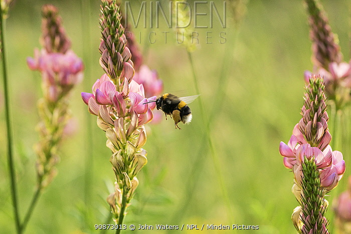 Bumblebee (probably Bombus terrestris) visiting flowers of Sainfoin (Onobrychis viciifolia) in a restored wildflower meadow, near Bristol, UK, June, 2021.