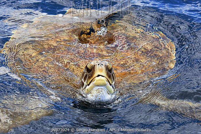 Green sea turtle (Chelonia mydas) at surface, Tenerife, Canary Islands.