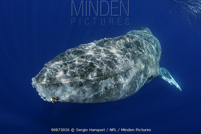 Whale louse (Cyamidae), a frequent cutaneous parasite in cetaceans, parasitizing, in huge amounts, a humpback whale (Megaptera novaeangliae), showing clear signs of thinness from migrating, Tenerife, Canary Islands.