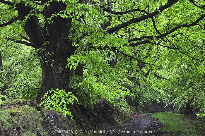 Beech trees (Fagus sylvatica) along a woodland path in Dorset, UK, May.