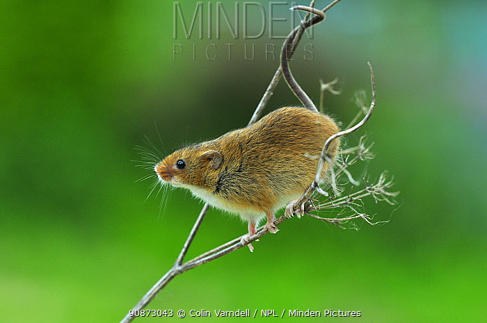 Harvest mouse (Micromys minutus) climbing on a dead flower head (captive) Dorset, UK, May.