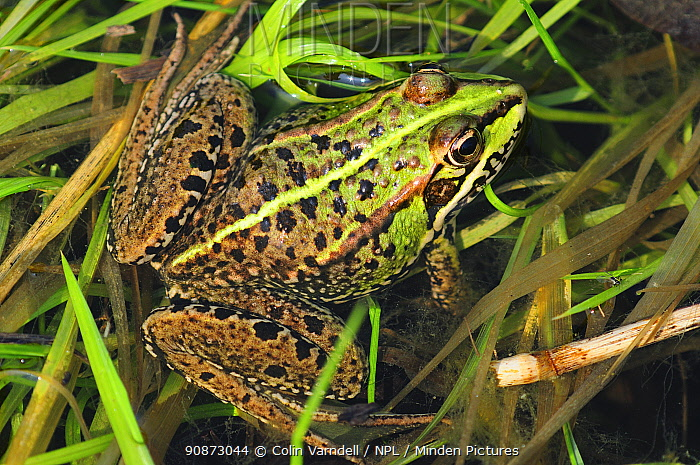 Marsh frog (Pelophylax ridibundus) resting. Bexington, Dorset, UK, May.