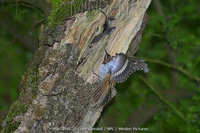 Treecreeper (Certhia familiaris) threat display to a Bank vole (Myodes glareolus) robbing its nest. Dorset, UK, May.
