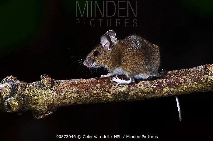 Adult Wood mouse (Apodemus sylvaticus) climbing on an Ash tree (Fraxinus sp.) branch. Dorset, UK, August.