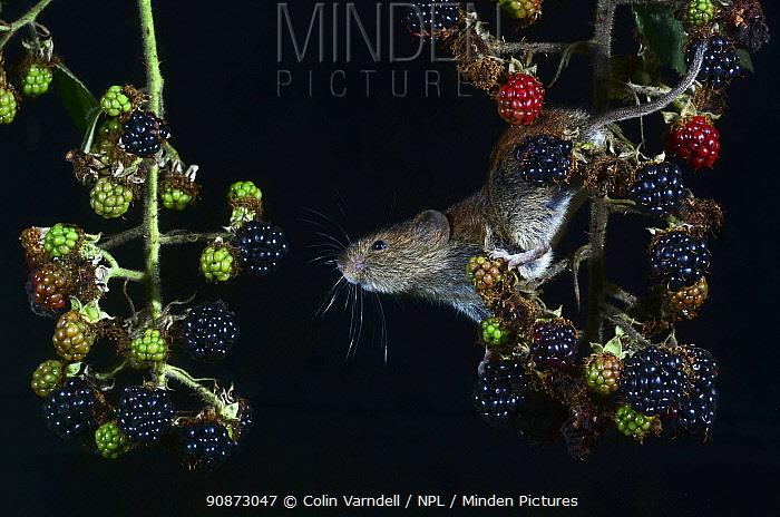 Bank vole (Myodes glareolus) climbing amongst blackberries (Rubus sp.) (captive). Dorset, UK, August.