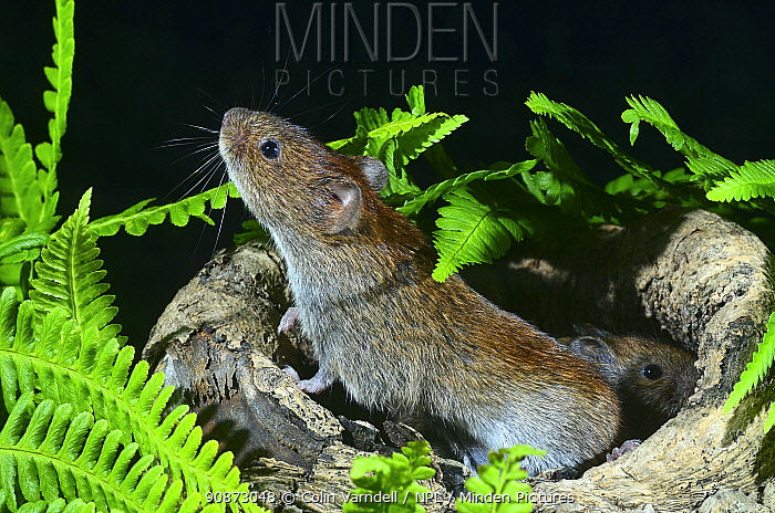 Bank voles (Myodes glareolus) in a hollow log surrounded by ferns (captive), Dorset, UK, July.
