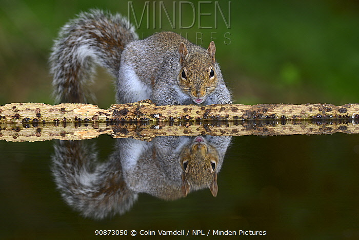 Grey squirrel (Sciurus carolinensis) and its reflection in water, Dorset, UK March.