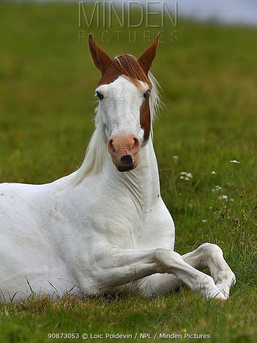 Pinto horse (Equus caballus) lying in grass, Breton Marsh, Vendee, France, May.