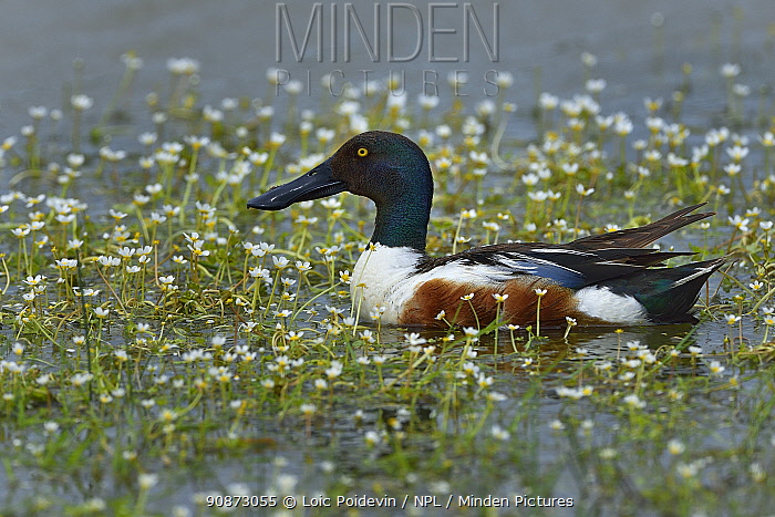 Male Northern shoveler (Spatula clypeata) foraging in water surrounded by flowers, Vendeen Marsh, Vendee, France, May.