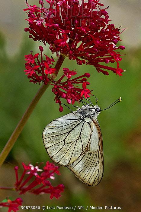 Black-veined white (Aporia crataegi) resting on Valerian (Valeriana sp.), Vendee, France, May.