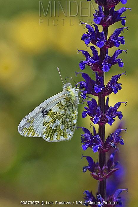 Western dappled white (Euchloe crameri) resting on flower, Vendee, France, June.