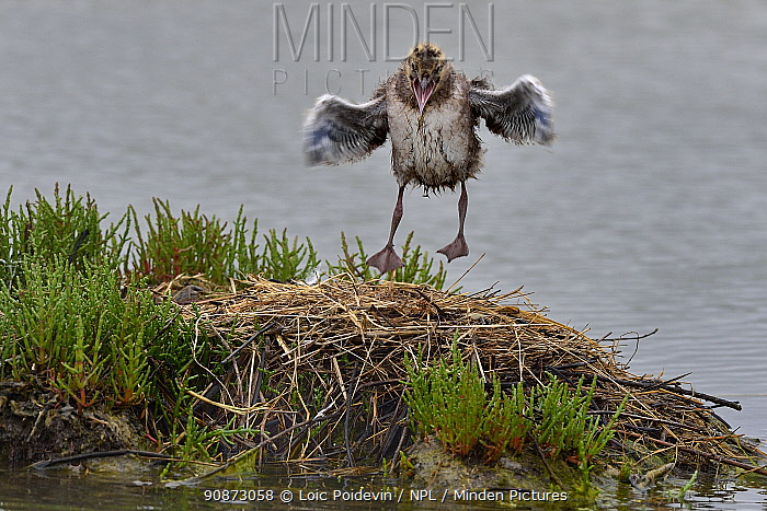 Chick Black-headed gull (Chroicocephalus ridibundus) flight testing on the nest, Vendeen Marsh, Vendee, France, May.