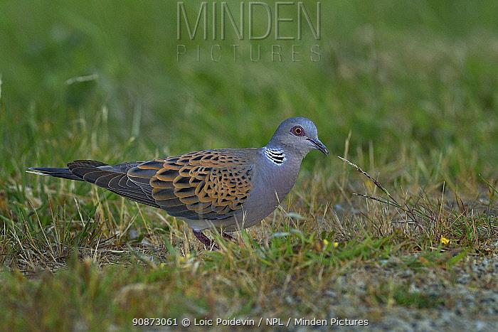 European turtle dove (Streptopelia turtur) foraging, Vendeen Marsh, Vendee, France, June.