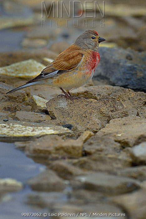 Male Common linnet (Linaria cannabina) resting on a rock next to water, Vendee, France, July.