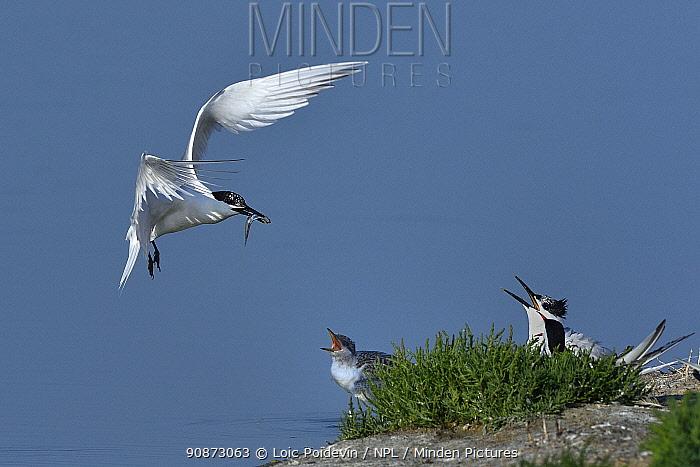 Adult Sandwich tern (Thalasseus sandvicensis) returning to nest, beak filled with fish, Noirmoutier Island, Vendee, France, June.