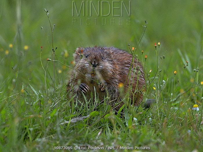Muskrat (Ondatra zibethicus) foraging in grass, Vendeen Marsh, Vendee, France, June.