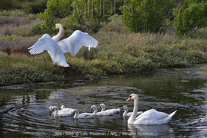 Family of Mute swans (Cygnus olor), Vendeen Marsh, Vendee, France, June.