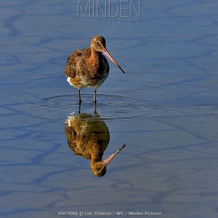 Black-tailed godwit (Limosa limosa) foraging, Vendeen Marsh, Vendee, France, May.