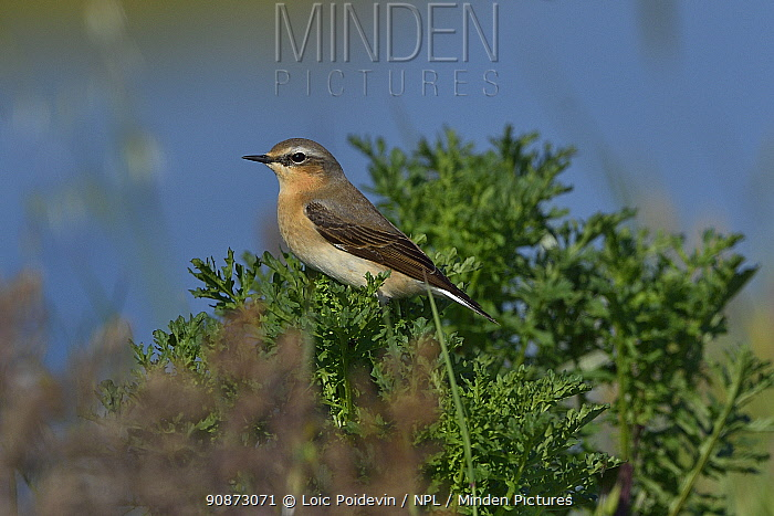 Northern wheatear (Oenanthe oenanthe) perched a bush, Vendee, France, May.