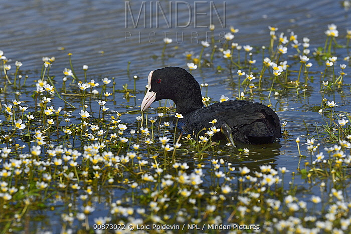Eurasian coot (Fulica atra) foraging in water surrounded by flowers, Vendeen Marsh, Vendee, France, May.