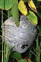 Paper Wasp (Polistes metricus) nest with individuals at entrance, Minnesota  -  Jim Brandenburg
