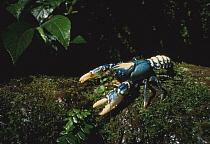 Australian Spiny Lobster (Panulirus cygnus) on a moss-covered rock, Australia  -  Mitsuaki Iwago
