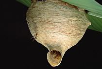 Paper Wasp (Polistinae) nest, Peru  -  Mark Moffett