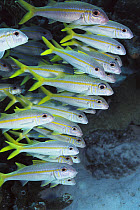 Yellow Goatfish (Mulloidichthys martinicus) school swimming underwater, barbells under chin are used to dig for food, Bonaire  -  Norbert Wu