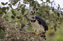 Harpy Eagle (Harpia harpyja) female surveying her territory from a Brazil nut tree, Ese'eja native lands, Tambopata River, Amazonian Peru  -  Tui De Roy