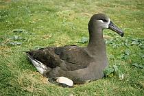 Black-footed Albatross (Phoebastria nigripes) incubating single egg, Midway Atoll, Hawaii  -  Tui De Roy