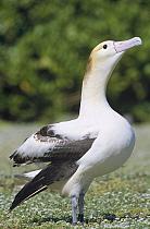 Short-tailed Albatross (Phoebastria albatrus) lone female attempting to court Black-footed Albatross (Phoebastria nigripes), Midway Atoll, Hawaii  -  Tui De Roy