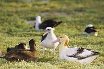 Short-tailed Albatross (Phoebastria albatrus) amid Laysan Albatross (Phoebastria immutabilis) and Black-footed Albatross (Phoebastria nigripes), Midway Atoll, Hawaii  -  Tui De Roy