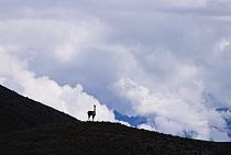 Vicuna (Vicugna vicugna) at 4,300 meter elevation, an alert male surveys his territory, Apurimac, Peruvian Andes, Peru  -  Mark Jones