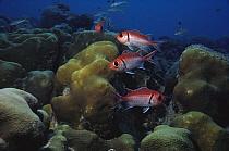 Blackbar Soldierfish (Myripristis jacobus) group over coral reef, Bonaire, Caribbean  -  Fred Bavendam