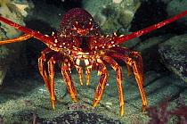 Southern Rock Lobster (Jasus edwardsii) portrait, Tasman Peninsula, Tasmania, Australia  -  Fred Bavendam