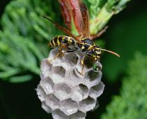 Paper Wasp constructing nest, Shiga, Japan  -  Mitsuhiko Imamori