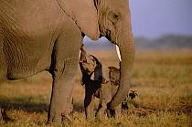 African Elephant (Loxodonta africana) infant begging mother to nurse, Amboseli National Park, Kenya  -  Gerry Ellis