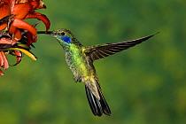 Green Violet-ear (Colibri thalassinus) hummingbird visiting flower, Costa Rica  -  Tom Vezo