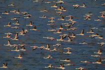 Lesser Flamingo (Phoenicopterus minor) and Greater Flamingo (Phoenicopterus ruber) flying over Lake Bogoria, Rift Valley, Kenya  -  Ferrero-Labat/ Auscape