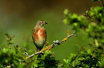 Linnet (Acanthis cannabina) male perched in hawthorn, Europe  -  Frits van Daalen/ NiS