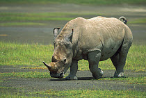 White Rhinoceros (Ceratotherium simum) male, Lake Nakuru National Park, Kenya  -  Yva Momatiuk & John Eastcott