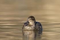 Common Teal (Anas crecca) female on lake, western Montana  -  Donald M. Jones