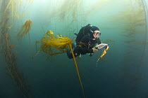 Research diver, Patrick Berk, performs rockfish survey in mixed Giant Kelp (Macrocystis pyrifera) and Bull Kelp (Nereocystis luetkeana) bed off Asilomar State Beach, Monterey, California  -  Richard Herrmann