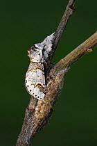 Sallow Kitten (Furcula furcula) moth freshly emerged, Overijssel, Netherlands  -  Karin Rothman/ NiS