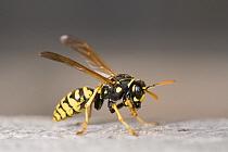 European Paper Wasp (Polistes dominulus) gathering wood pulp, Limburg, Netherlands  -  Bert Pijs/ NIS