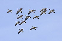 Canada Goose (Branta canadensis) flying in formation, central Montana  -  Donald M. Jones