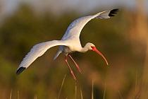 White Ibis (Eudocimus albus) flying back to evening roost, Florida  -  Donald M. Jones