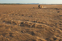 Yellow-spotted Amazon River Turtle (Podocnemis unifilis) nests being dug up to be relocated, Orinoco River, Apure, Venezuela  -  Pete Oxford