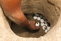 South American River Turtle (Podocnemis expansa) nest being dug up for relocation to safer, higher ground, part of reintroduction to the wild program, Playita Beach, Orinoco River, Apure, Venezuela  -  Pete Oxford
